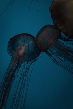 jellyfish01